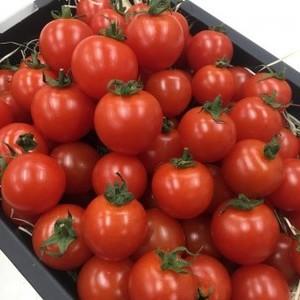 フルーツミニトマト小鈴 800g 福岡県産